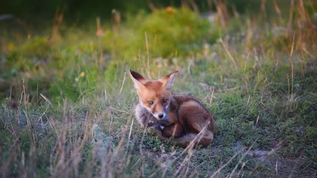hiding : Young Red Foxs sitting on the grass near his burrows Stock Footage