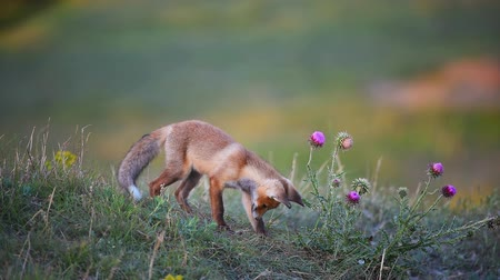 лиса : Young Red Foxs looking for something in the grass