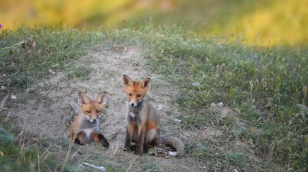 лиса : Two Little Red Fox playing near their burrows.