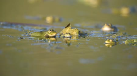 kurbağa : Green Marsh Frog (Pelophylax ridibundus) croaking on a beautiful light.