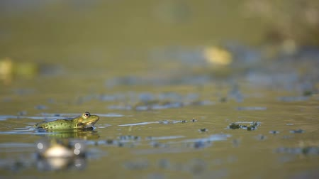 žába : Green Marsh Frog (Pelophylax ridibundus) croaking on a beautiful light.