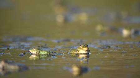 karakurbağası : Green Marsh Frog (Pelophylax ridibundus) croaking on a beautiful light.