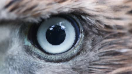sas : Eagle eye close-up, macro, eye of young Goshawk (Accipiter gentilis).
