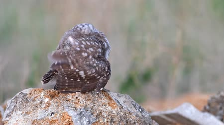 coruja : young Little owl (Athene noctua) stands on a stone and cleaned