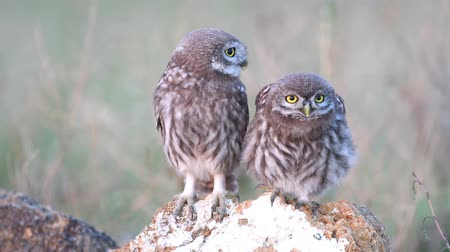 крошечный : Two young Little owl (Athene noctua) stands on a stone and looks around