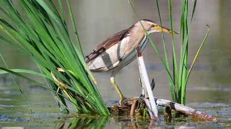 krym : Little bittern (Ixobrychus minutus) hunts in the cane