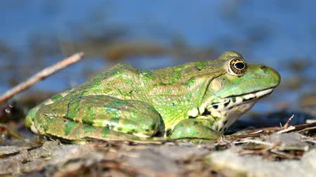 çiftleşme : Green Marsh Frog (Pelophylax ridibundus) in natural habitat. Close Up Portrait