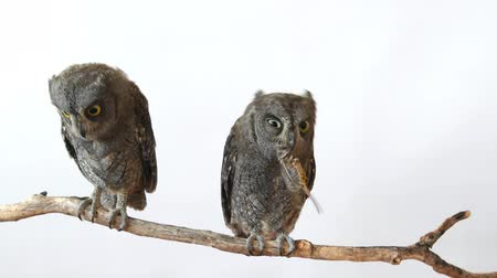 krím : Two European scops owl (Otus scops) sitting on a branch on a white background. One of the birds eats locusts
