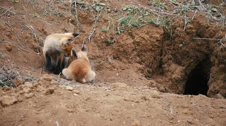 líska : Two young red fox resting near the burrow