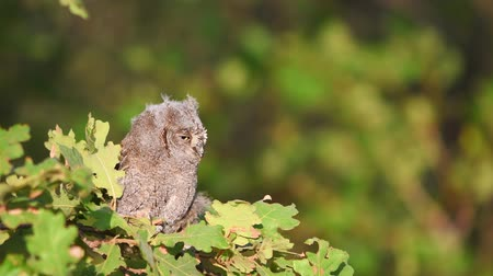 insectivorous birds : Young European scops owl (Otus scops) sitting on a branch.