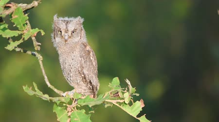 insectivorous birds : Young European scops owl (Otus scops) sitting on a branch