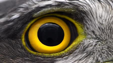 sas : Eurasian Sparrowhawk (Accipiter nisus) hawk eye closeup