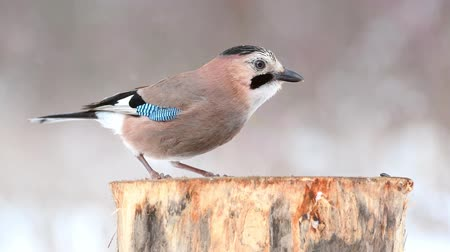 krym : Eurasian jay (Garrulus glandarius) on the winter bird feeder