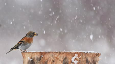 krym : Brambling, Fringilla montifringilla, sitting on the winter bird feeder during a snowfall