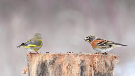 karmnik : European Green finch (Carduelis chloris) and Brambling (Fringilla montifringilla) on the winter bird feeder