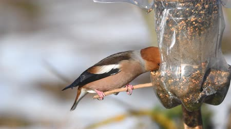alimentador : Hawfinch (Coccothraustes coccothraustes) sitting on the winter bird feeder