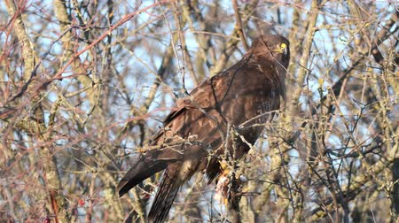 accipitridae : Common Buzzard (Buteo buteo) sits on a branch and eats lard