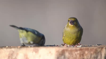 observação de aves : European Green finch (Carduelis chloris) on the winter bird feeder