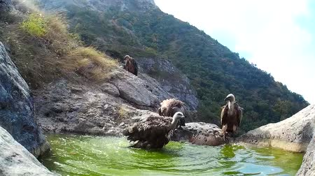 predatory bird : Griffon vulture (Gyps fulvus) bathing in a mountain bath Stock Footage