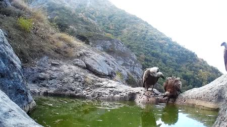 predatory bird : Two Griffon vulture, Gyps fulvus, fight near a mountain bath