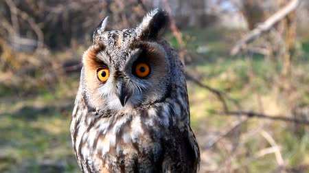 nocturnal : Long Eared Owl, asio otus, Portrait of Adult. Slow motion.