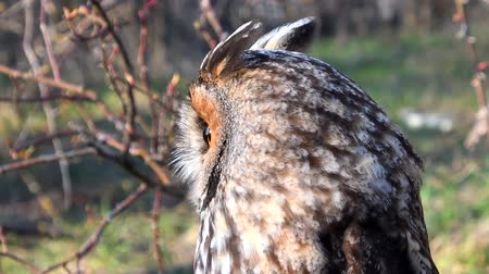 nocturnal : Long Eared Owl, asio otus, Portrait of Adult.