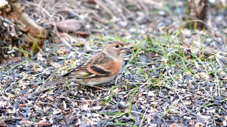 krím : Brambling (Fringilla montifringilla) looking for food in the grass Stock mozgókép