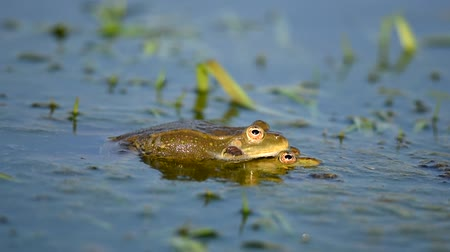 žába : Green Marsh Frog croaking and mating in the pond. Pelophylax ridibundus