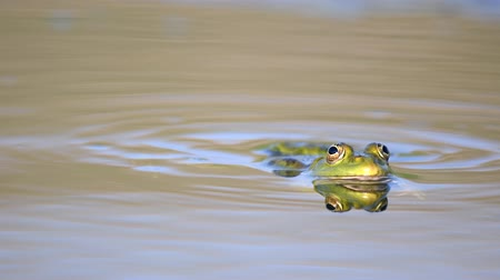 общий : Green Marsh Frog winks in the pond. Pelophylax ridibundus Стоковые видеозаписи