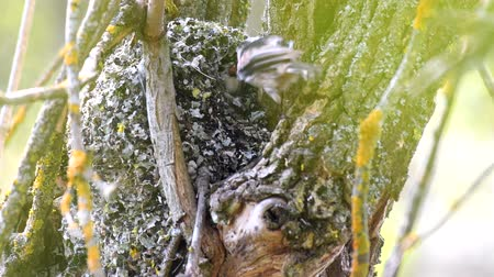 liken : Long-tailed tit (Aegithalos caudatus) feeds its chicks in the nest