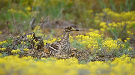 колено : Eurasian stone curlew (Burhinus dedicatedicus) on the nest