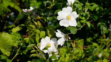 fragilidade : White flowers. Nature spring background.
