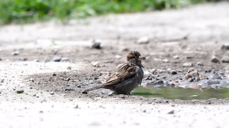passer by : House sparrow, Passer domesticus, bathes in a puddle.
