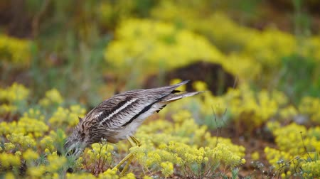krím : Eurasian stone curlew (Burhinus oedicnemus) walks in yellow flowers Stock mozgókép
