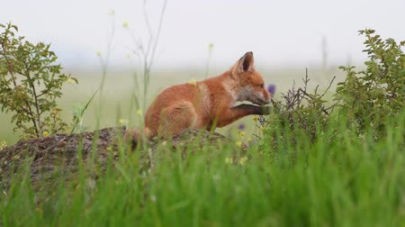 líska : Red fox cubs sitting on a rock and chewing on the bushes. Vulpes