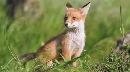 líska : Red fox cubs sits in the grass and looks around. Vulpes
