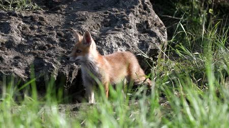 kürklü : Red fox cub stands and climbs into it. Vulpes