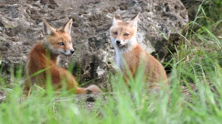 krym : Cute red foxes cub sitting near his burrow, Vulpes Wideo