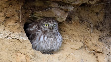 крошечный : Little owl (Athene noctua) peeking out