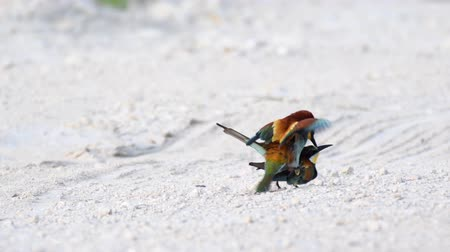 asa : European bee eaters (Merops apiaster) mating on the ground