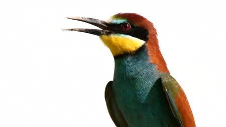krím : Colorful birds - European bee-eater (Merops apiaster) sitting on stick and looks around. Close up