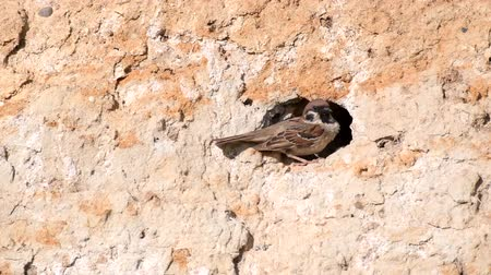 aves : Eurasian Tree Sparrow, Passer montanus, with chicks in his hole