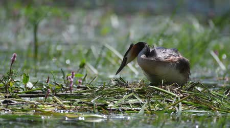 cristatus : Great Crested Grebe, Podiceps cristatus, climbs on the nest, straightens eggs and sits on them