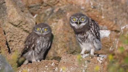 krím : Two young little owls (Athene noctua). One owl climbs out of a hole