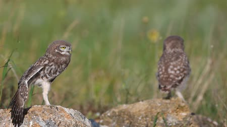 krym : Two Young Little Owls (Athene noctua)