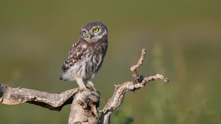 krym : Young little owl (Athene noctua)