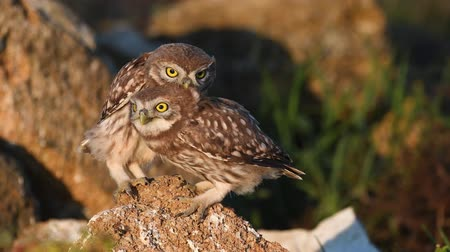 comics : Two young little owls (Athene noctua) are played standing on a natural stone