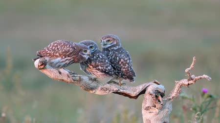 fly away : Three Young Little Owls (Athene noctua) on a dry branchon a beautiful summer background. Play and then fly away in turn