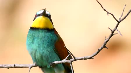 krym : Colorful birds - European bee-eater (Merops apiaster) sitting on stick and looks around. Close up
