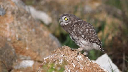 хищник : Young little owl (Athene noctua) stands on a stone spreads its wings and breathes heavily because of the heat